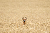 Roe deer lost in a field