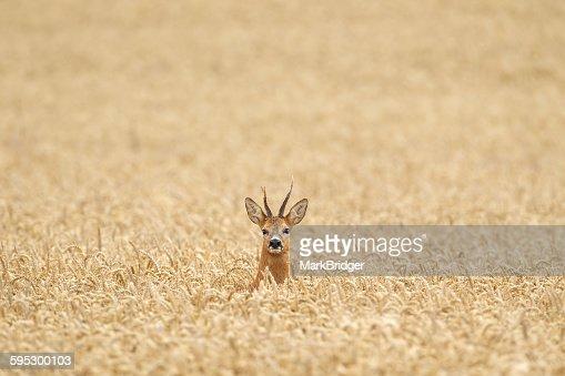 Roe deer lost in a field
