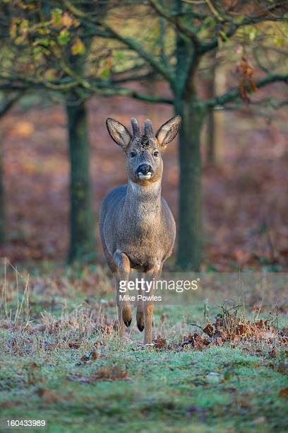 Roe Deer, male in velvet in woodland, Norfolk
