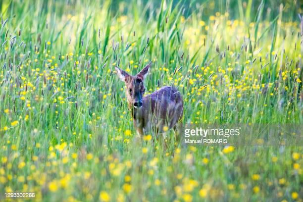 roe deer, marais d'harchies nature reserve - nature reserve stockfoto's en -beelden