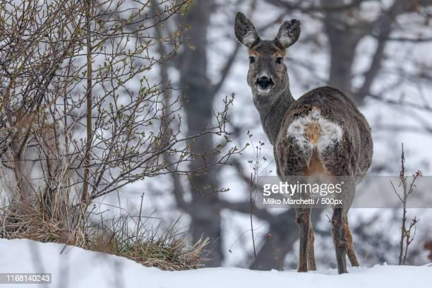 roe deer - chevreuil photos et images de collection