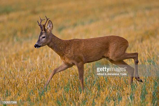 roe deer (capreolus capreolus) - vista lateral stock pictures, royalty-free photos & images