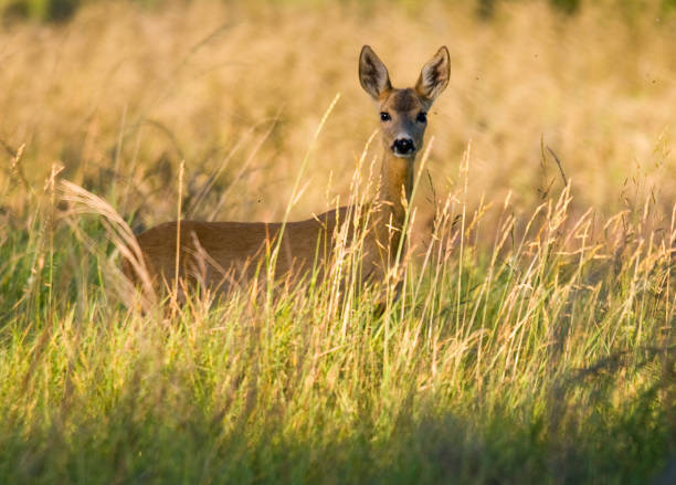 Roe Deer. Wall Art