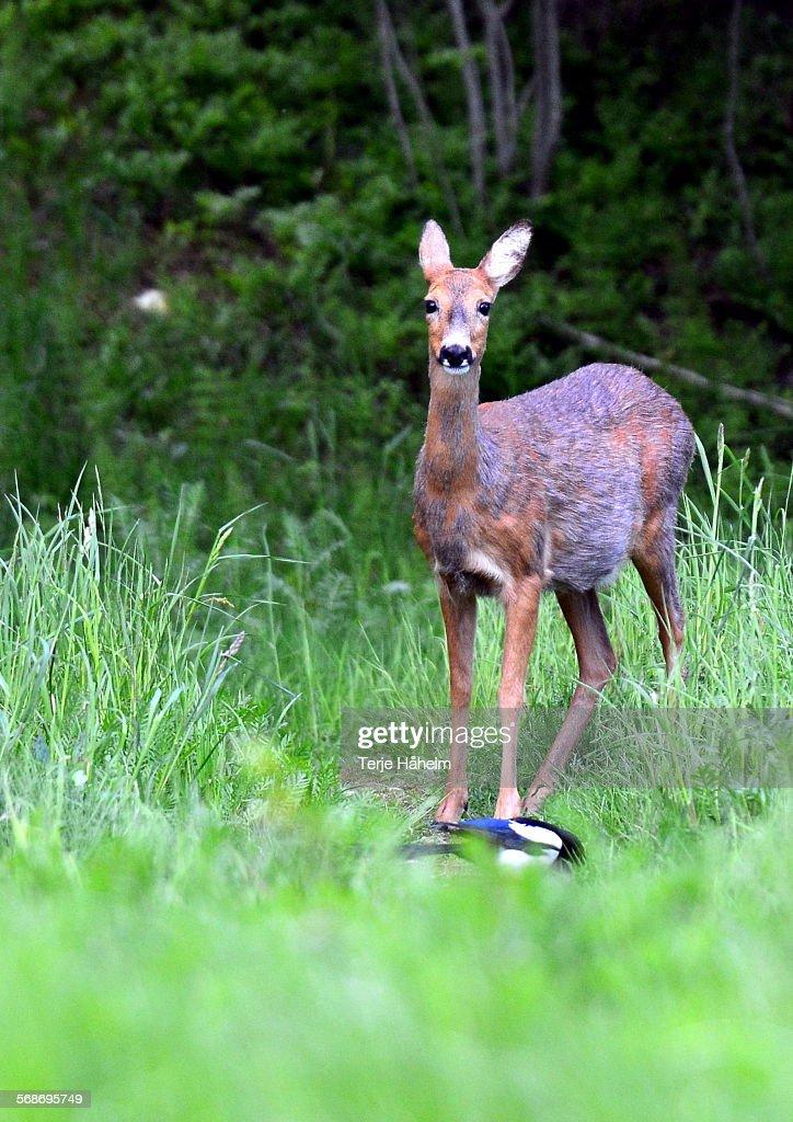 Roe Deer (pregnant) : Stock Photo