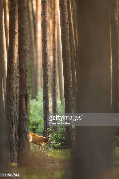 roe deer - animals hunting stock pictures, royalty-free photos & images