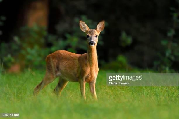 roe deer (capreolus capreolus), reussspitz nature reserve, huenenberg, canton of zug, switzerland - chevreuil photos et images de collection