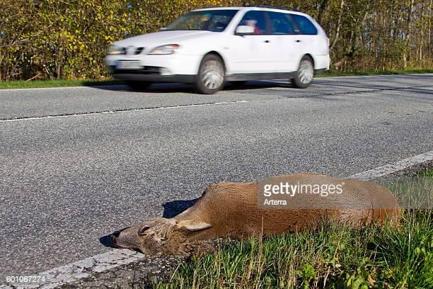 Roe Deer roadkill caused by speeding cars