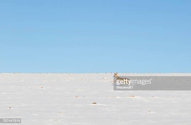 Roe deer running in snowfield