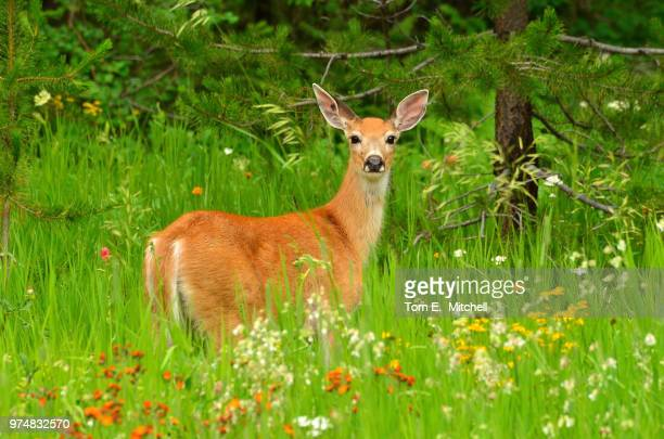 roe deer (capreolus capreolus) standing in meadow - biche photos et images de collection