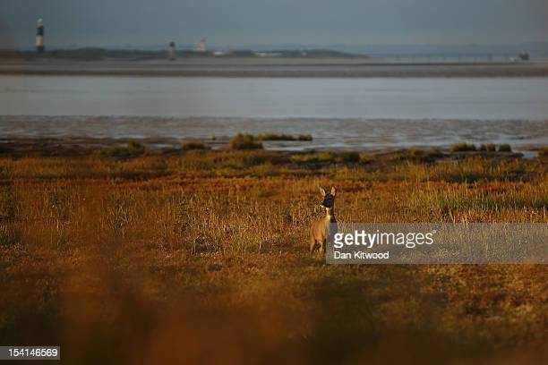 Roe Deer stands on the coastline at Spurn Point Coastal Reserve on October 12 2012 in Spurn Head England The Spurn Point coastal reserve has been...