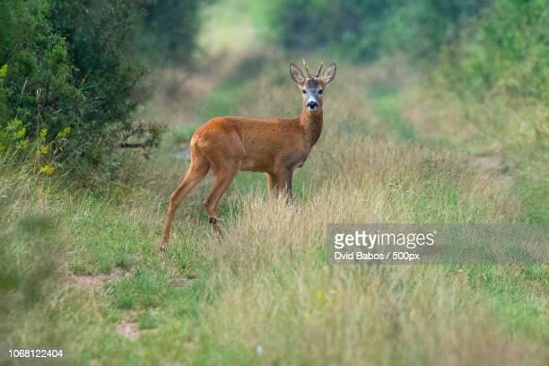 roe deer staring into camera - chevreuil photos et images de collection