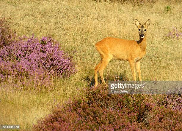 a roe deer surprised by the photographer - posbank ストックフォトと画像
