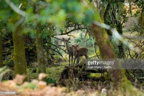 roe standing by trees in forest - deer stock pictures, royalty-free photos & images