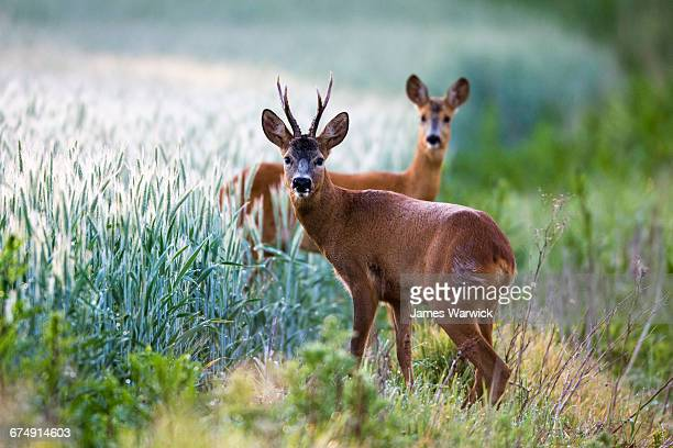 roebuck and roe doe at edge of arable field - chevreuil photos et images de collection
