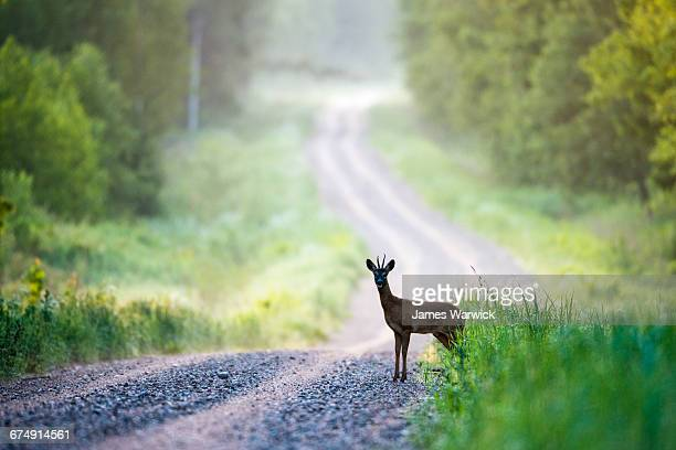 roebuck on forest track at dawn - chevreuil photos et images de collection