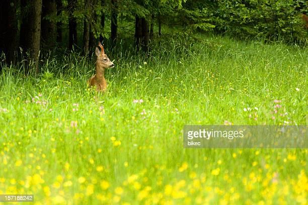 Roebuck (roe deer)