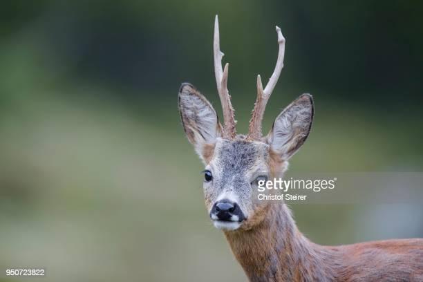 roebuck (capreolus capreolus), portrait, stubai valley, tyrol, austria - chevreuil photos et images de collection