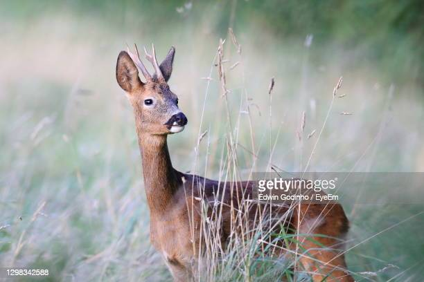 a roebuck up close - deer stock pictures, royalty-free photos & images