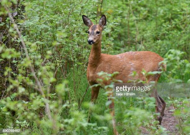 Roedeer with young