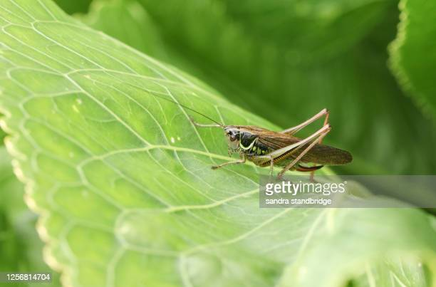 a roesel's bush-cricket, metrioptera roeselii, resting on a horseradish leaf in a field. - england cricket stock pictures, royalty-free photos & images