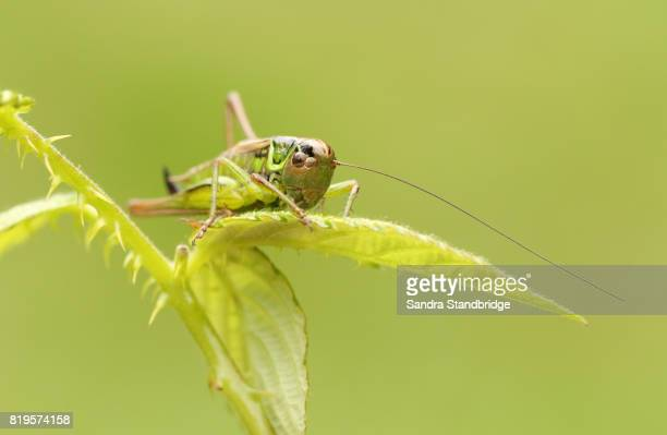 a roesel's bush-cricket (metrioptera roeselii) perched on a bramble leaf. - cricket insect stock pictures, royalty-free photos & images