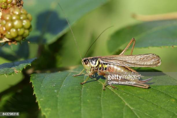 a roesel's bush-cricket (metrioptera roeselii) perched on a leaf. - hertford hertfordshire stock pictures, royalty-free photos & images