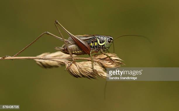 roesel's bush-cricket (metrioptera roeselii) - hertford hertfordshire stockfoto's en -beelden