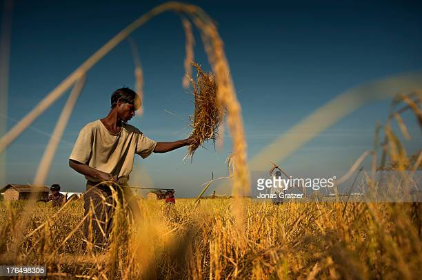 Rohingya man harvests rice from a field in the IDP refugee camps of Sittwe. Sittwe now has over 125,000 people who are isolated after violence on...