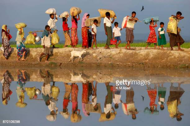 Rohingya refugee people with their home animal walk through paddy field entered Bangladesh from Myanmar Rakhine state at Anjumanpara in Coxsbazar...