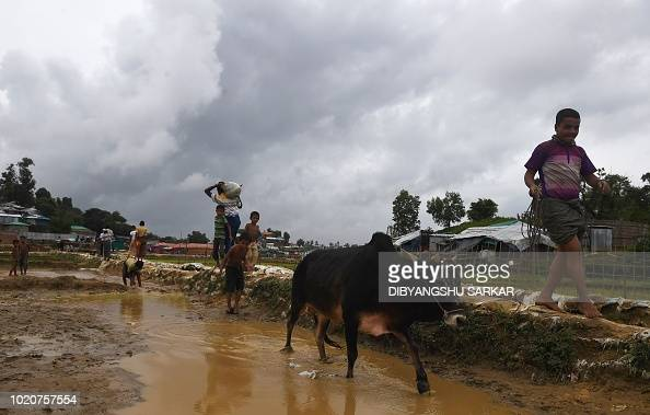 a rohingya refugee pulls a cow to the camp for slaughter ahead of the news photo getty images. Black Bedroom Furniture Sets. Home Design Ideas