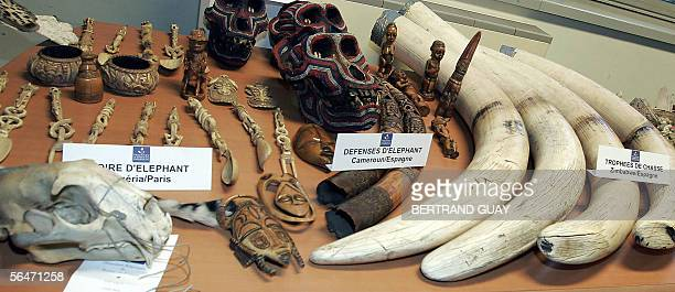 Roissy-en-France, FRANCE: Picture taken 20 December 2005 shows elephant tusks and other objets made of ivory, seazed by French customs, on dipslay at...