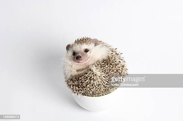 Roll Up Hedgehog