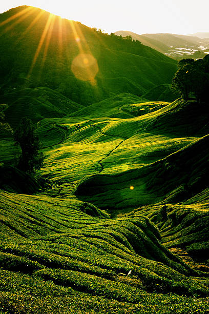 Rolling Green Hills of a Tea Plantation