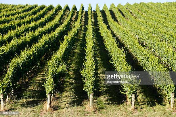 Rolling green vineyard in afternoon summer sun