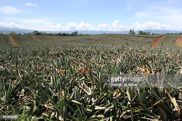 rolling hills of pineapple - stephan de prouw stock pictures, royalty-free photos & images