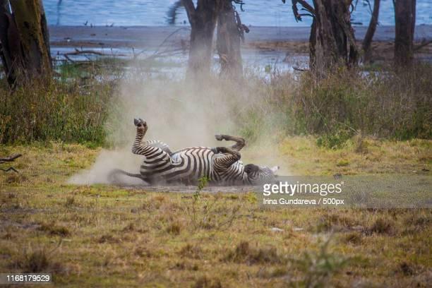 rolling in the dust - lake nakuru - fotografias e filmes do acervo