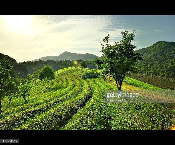 Rolling Tea Fields (Rural China)
