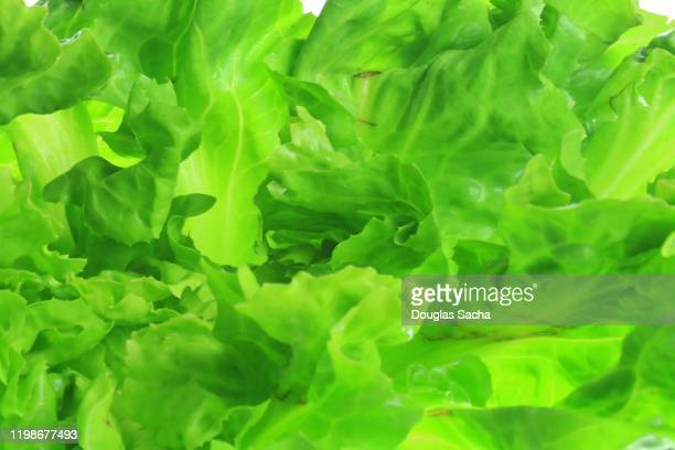 romain lettuce, fullframe - salmonella bacteria stock pictures, royalty-free photos & images