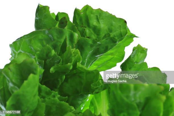 romain lettuce on a white background - salmonella bacteria stock pictures, royalty-free photos & images