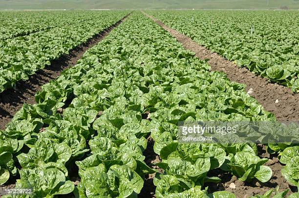 romaine lettuce field - romaine lettuce stock photos and pictures