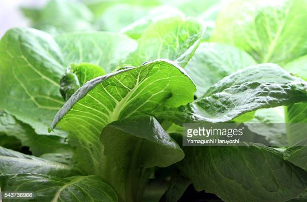 Romaine lettuce is clutivated at vegetables plant in Tokyo