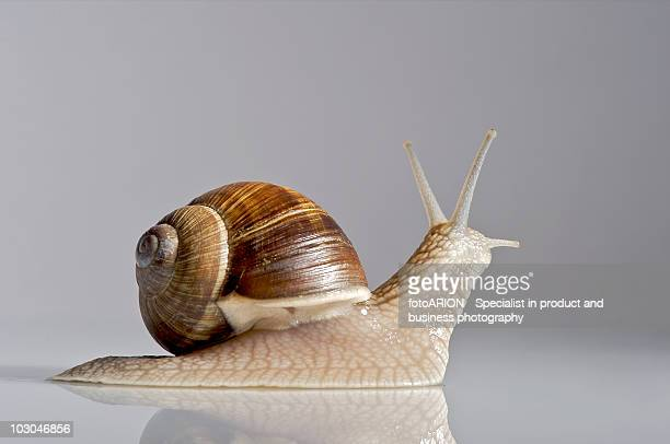 roman snail - snail stock photos and pictures