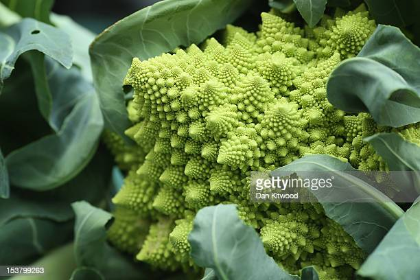 Romanesque broccoli is displayed at the RHS London Harvest Festival Show on October 9 2012 in London England Growers from across the UK come together...