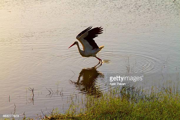 Romania, Cernavoda, stork