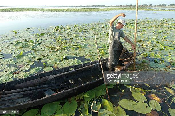 Romania Tulcea Danube Delta Biosphere Reserve Professional fisherman in canoe on Lake Isac checking his nets among water lily pads of the genus...
