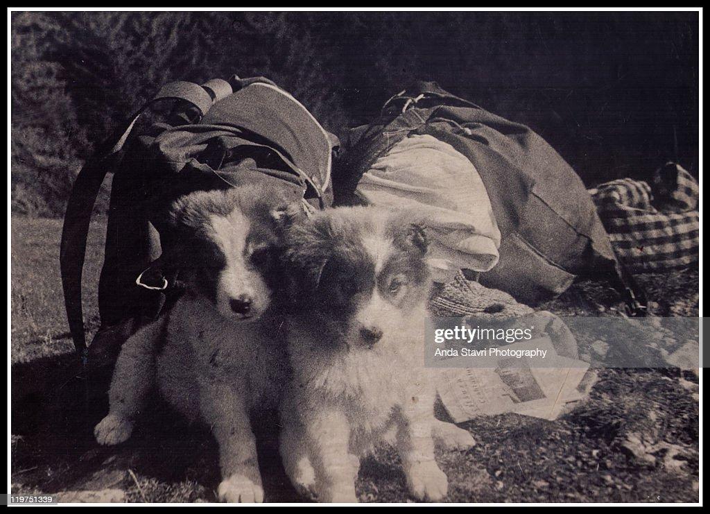 Romanian sheepdog puppies : Stock Photo