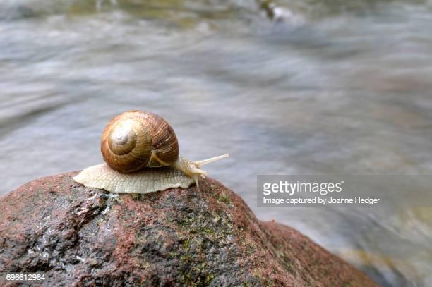 Romanian Snail
