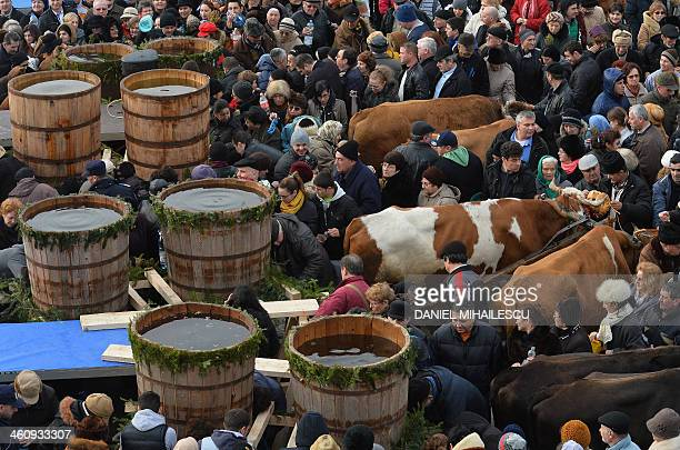 Romanians crowd around the holy water barrels carried by cattle as they celebrate Epiphany in Constanta 250 km east from Bucharest on January 6 2014...
