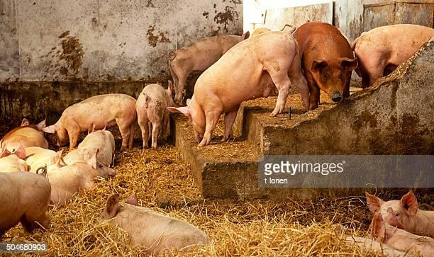 Romantische schmutzig Schwein stabil
