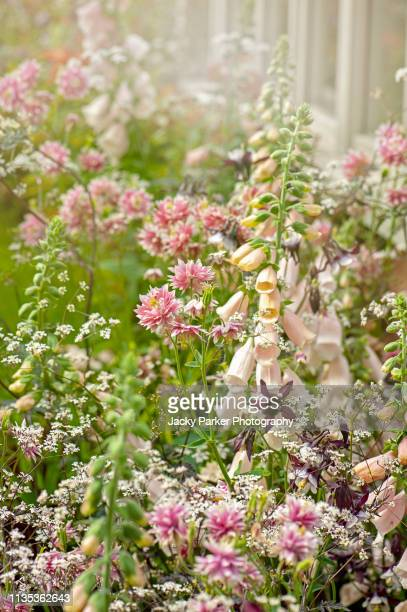a romantic english cottage garden with foxgloves - digitalis and aquilegia - columbine flowers in the soft summer sunshine - columbine flower stock pictures, royalty-free photos & images